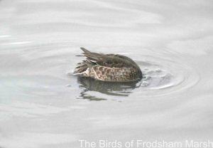 23.09.14. Common Teal, No.6 tank, Frodsham Marsh. Bill Morton