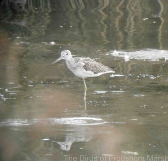 27.09.14. Greenshank, No.6 tank, Frodsham Marsh. Bill Morton