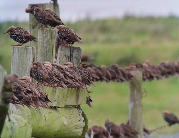 06.09.14. Starlings, Marsh Farm. Tony Broome