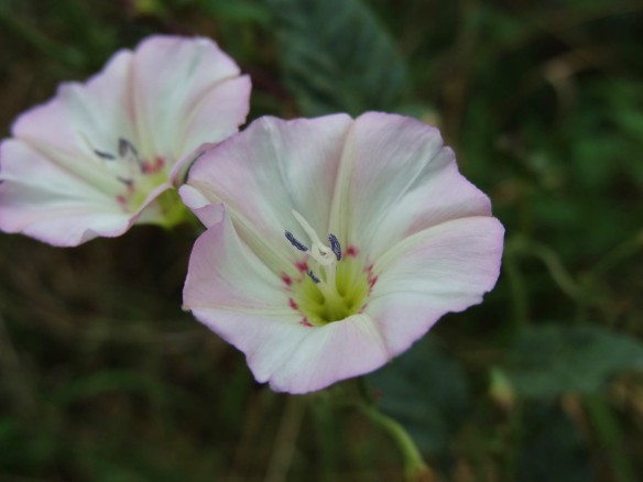 y PHOTO 1 Bindweed Convolvulus arvensis FM Sept6th14 0371