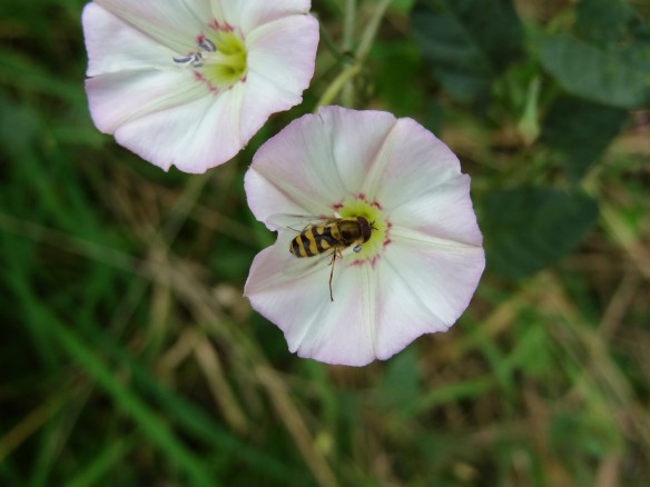 y PHOTO 2 Bindweed Convolvulus arvensis with hoverfly FM Sept6th14 0362
