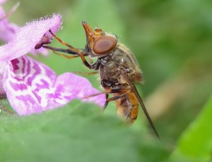 y PHOTO 7 Rhingia campestris FM Sept6th14 0399