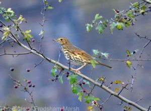 20.10.14. Song Thrush (continental). Frodsham Marsh. Bill Morton