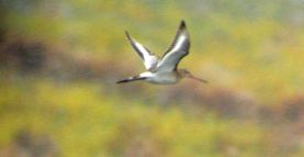 07.10.14. Black-tailed Godwit, No.6 tank, frodsham Marsh. Bill Morton