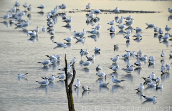 10.10.14. Avocet and Black-headed gulls, No.6 tank. Bill Morton