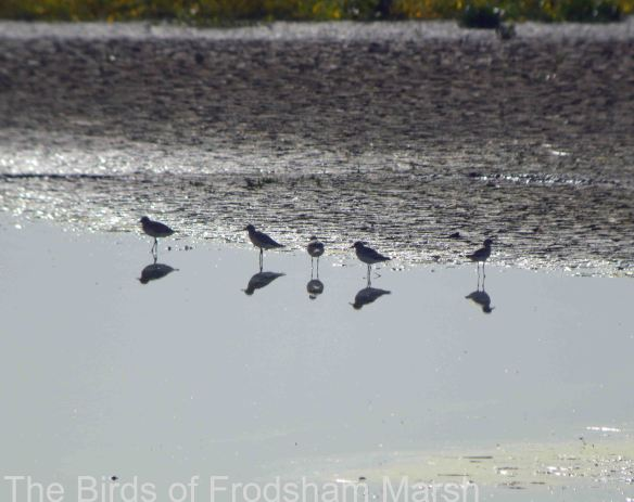 11.10.14. Grey Plovers, No.6 tank, Frodsham Marsh. Bill Morton