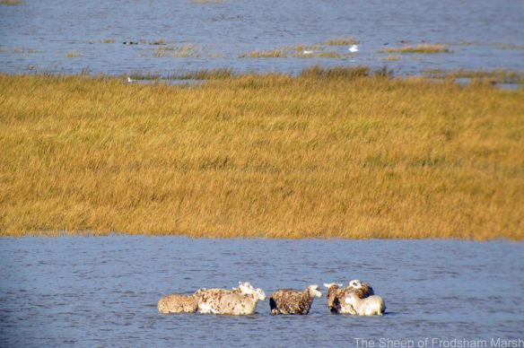 25.10.14. Sheep stting the tide out on Frodsham Score, Frodsham Marsh. Bill Morton