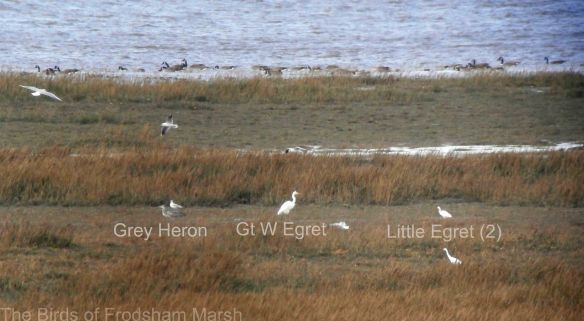 25.10.14. Grey Heron, Great White Egret and 2 Little Egret, Frodsham Score, Frodsham Marsh. Bill Morton