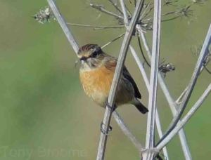 12.10.14. Stonechat (female), Lordship Lane, frodsham Marsh. Tony Broome.