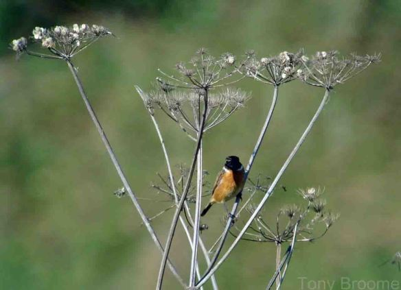 12.10.14. Stonechat (male), Lordship Lane, rodsham Marsh. Tony Broome