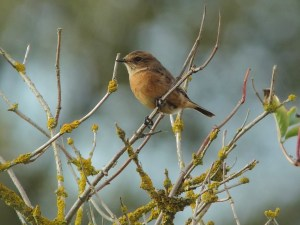 18.10.14.1st winter female Stonechat, Redwall reedbed, Frodsham Marsh. Tony Broome.