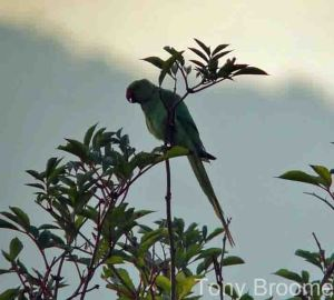 29.10.14. Ring-necked Parakeet, Frodsham Marsh, Tony Broome