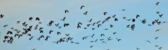 03.11.14. Lapwing flock, Leasowe, N Wirral