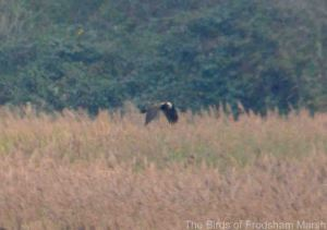 08.11.14. Marsh Harrier (juv), No.6 tank, Frodsham Marsh