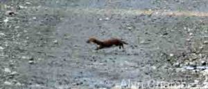 09.11.14. Weasel, Brook Furlong Lane, Frodsham Marsh