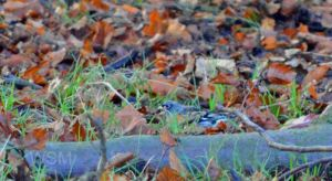 23.11.14. Brambling, Tatton Park. Bill Morton (2)