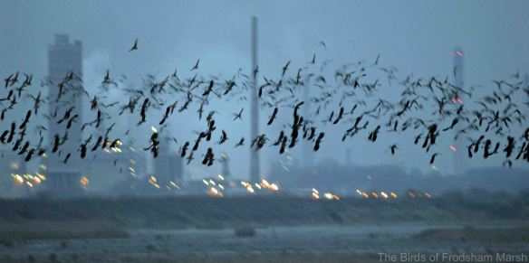 28.11.14. Lapwings and Golden Plover, No.6 tank, Frodsham Marsh. Bill Morton (1)