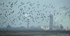 28.11.14. Lapwings and Golden Plover, No.6 tank, Frodsham Marsh. Bill Morton (2)