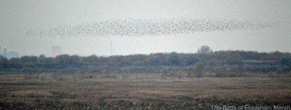 28.11.14. Starlings, No.4 tank, Frodsham Marsh. Bill Morton