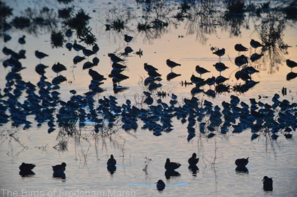 14.11.14. Lapwing roost, No.6 tank, Frodsham Marsh. Bill Morton