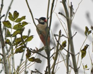 15.11.14. Great Spotted Woodpecker, Brook Furlong Lane, Frodsham Marsh, Bill Morton