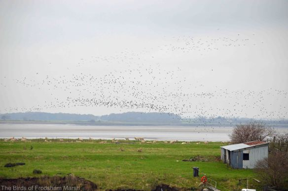 15.11.14. Wader flock over Frodsham Score, Bill Morton