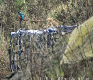 15.11.14. Kingfisher, Marsh Farm, Frodsham Marsh, Bill Morton