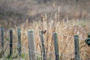 16.11.14. Stonechat (male and ), Lordship Lane, Frodsham Marsh. Bill Morton