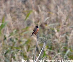 16.11.14. Stonechat (male),Lordship Lane, Frodsham Marsh. Bill Morton