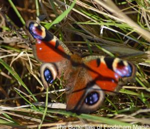 22.11.14. Peacock Butterfly, No.4 tank, frodsham Marsh. Bill Morton