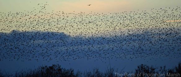 22.11.14. Starling roost with Marsh Harrier above, No.4 tank   Frodsham Marsh. Bill Morton
