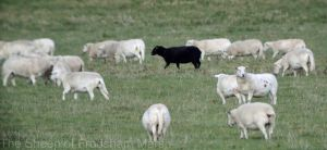08.11.14. Blah blah Black Sheep flocks, No.5 tank, Frodsham Marsh. Bill Morton