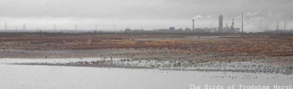 08.11.14. Wader roost on No.6 tank, Frodsham Marsh. Bill Morton
