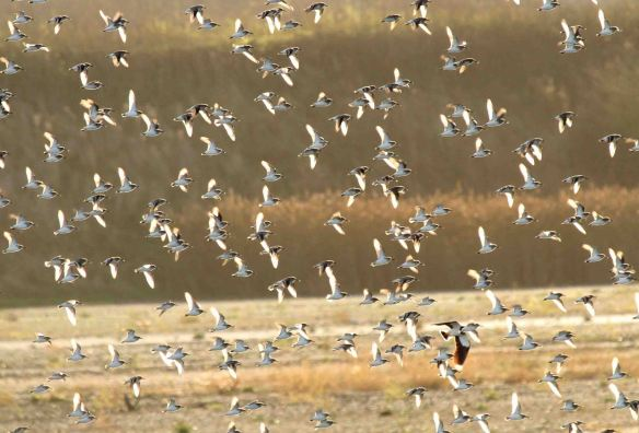 23.11.14. Illuminated Dunlin, Frodsham Marsh. The Wilde Bunch
