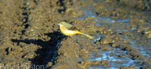 08.11.14. Grey Wagtail, Ince Marsh. Frodsham Marsh. Paul Ralston