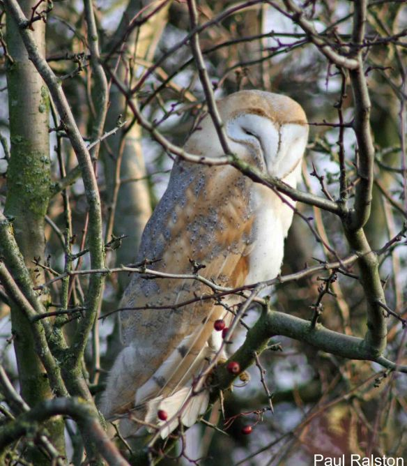 20.11.14. Barn Owl, Frodsham Marsh. Paul Ralston