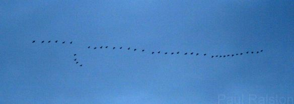 22.11.14. Pink-footed Geese, Frodsham Score. Paul Ralston