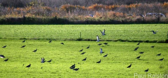 30.11.14. Curlew, Ince Marsh. Paul Ralston