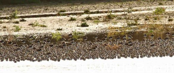 23.11.14. Dunlin flock, No.6 tank, frodsham Marsh. The Wilde Bunch.