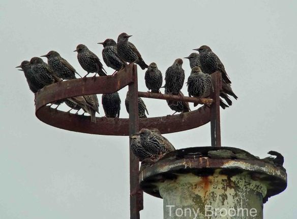 16.11.14. Starlings), No.1 tank, Frodsham Marsh. Tony Broome.