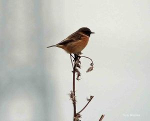 16.11.14. Stonechat (male), No.1 tank, Frodsham Marsh. Tony Broome.