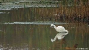 22.11.14. Little Egret, No.3 tank, Frodsham Marsh. Tony Broome.