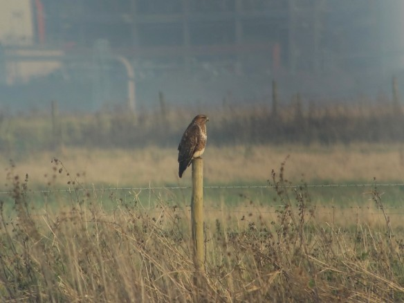 29.11.14. Common Buzzard on No.3 tank, Frodsham Marsh. Tony Broome.