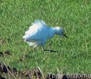 13.12.14. Cattle Egret, Frodsham Marsh