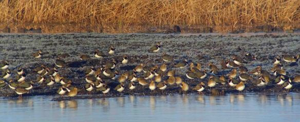 28.12.14. Lapwing and Golden Plover, No.3 tank, Frodsham Marsh. Tony Broome
