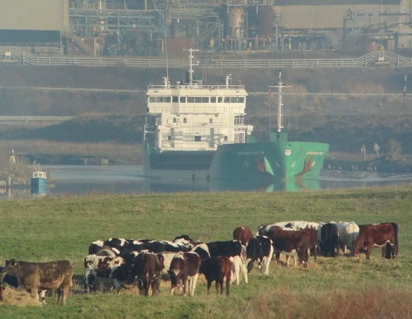 28.12.14. Ship and Cows, Frodsham Marsh. Tony Broome