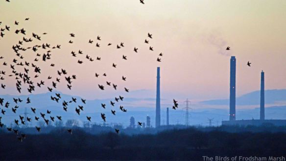 29.12.14. Starling roost over No.6 tank, Frodsham Marsh. Bill Morton
