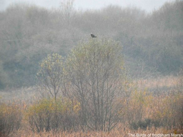 01.12.14. Marsh Harrier (immature), No.6 tank, Frodsham Marsh. Bill Morton