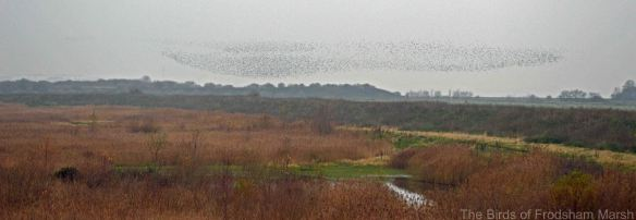 01.12.14. Starling murmuration, No.3 tank, Frodsham Marsh. Bill Morton.