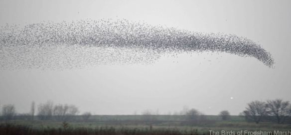 01.12.14. Starling murmuration over No.3 tank, Frodsham Marsh. Bill Morton